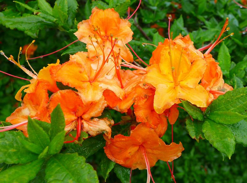ONE Azalea Bush