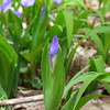 Emerging Dwarf Crested Iris