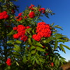Mountain Ash berries were ALL around!