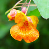 <h1>Jewelweed</h1> Otherwise known as Impatiens capensis or Touch Me Not.  Found along the banks of South Mills River in Pisgah Forest, NC.