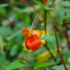 <h1>Jewelweed</h1>Otherwise known as Impatiens capensis or Touch Me Not.  Found along the banks of South Mills River in Pisgah Forest, NC.