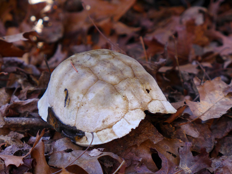 <h1>Turtle Shell</h1>An old turtle shell we noticed on our hike back out from the waterfall.