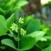 Clintonia Borealis (Bluebead Lily)