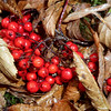 Fabulous photo by Mark of Mountain Ash berries!!