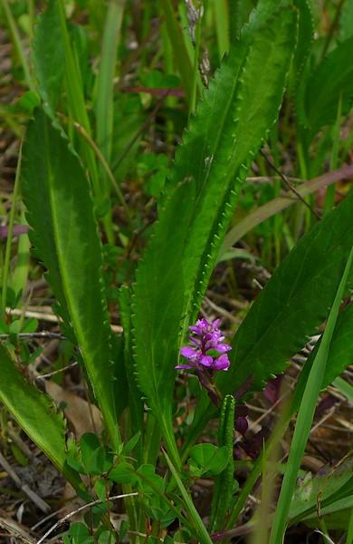 Curtis Milkwort (Polygala curtissii)