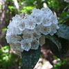 Mountain Laurel lined one portion of the trail