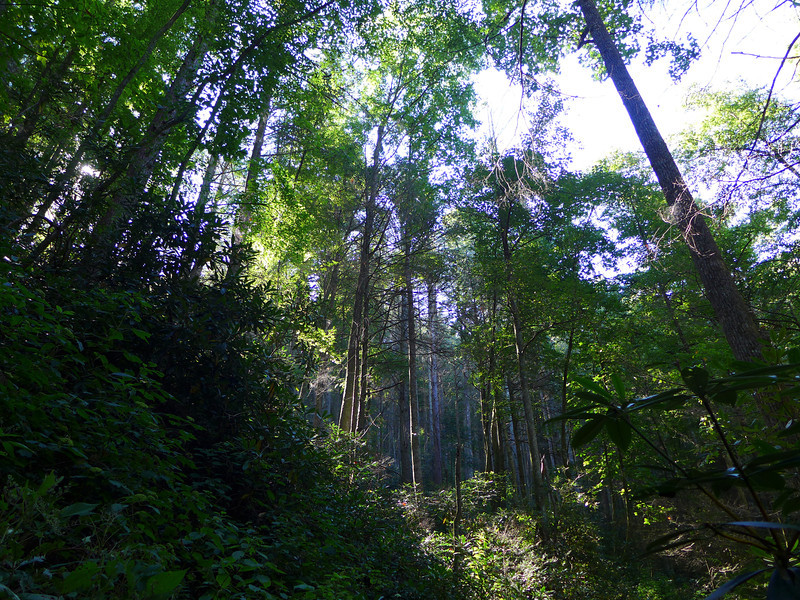 <h1>Tall, Towering Trees</h1>...along the trail to Wolf Creek Falls.