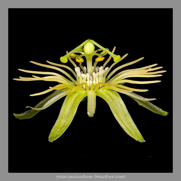 Yellow passionflower
