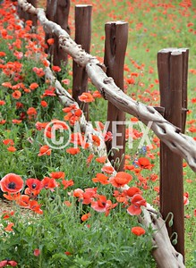 Poppies On Wildseed Farm