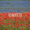Poppies & Bluebonnets