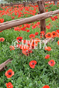 Poppies On The Fence