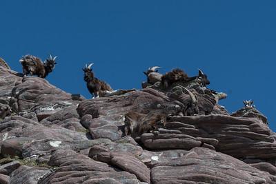 Feral goats basking in the sun