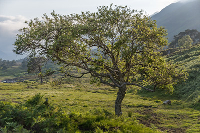 Elegant rowan tree back down in the glen