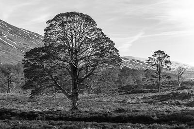 Scots pine in the blazing sunlight