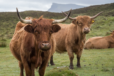 Highland bulls seen from the other side of the fence