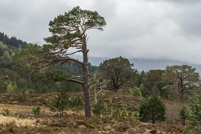 Old battered scots pine