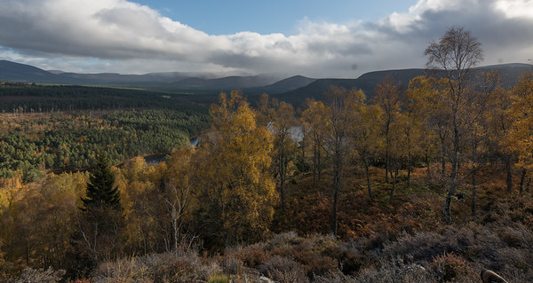 Birches in autumn sunshine