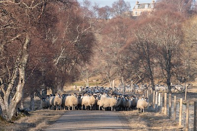 A large herd of sheep came my way when I was cycling back