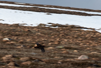 Fleeing grouse, a familiar sight ... and sound: a call like the horn of an old-time automobile