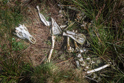 Remains of wolves' dinner