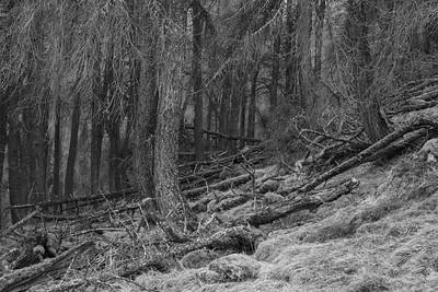 Larch plantation - kind of northerly jungle