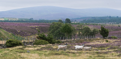 Drie bange schapen