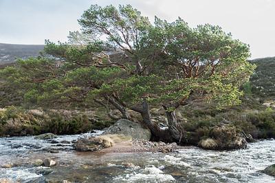 Brave scots pine