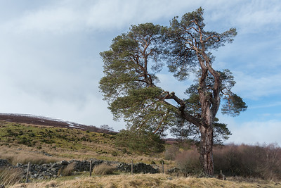 Weather beaten scots pine