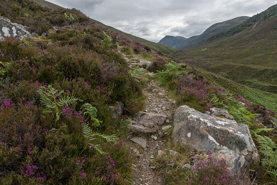 After leaving the forest, the land is covered in heather in July-bloom