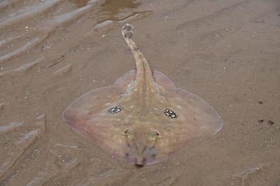 Stranded ray