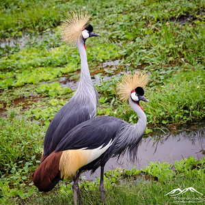 Crested or Grey Crowned Crane