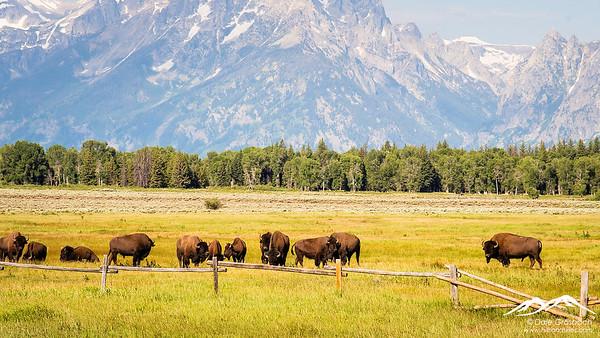 Elk Flats Bison