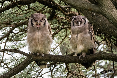 Verreaux's Eagle-Owls