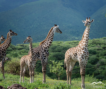 Giraffe - Ngorongoro Highlands