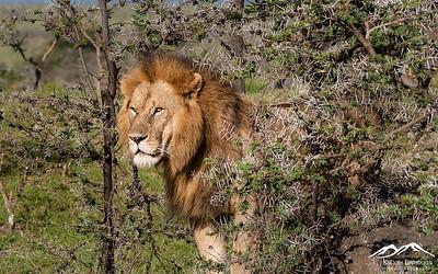 King among the Acacia