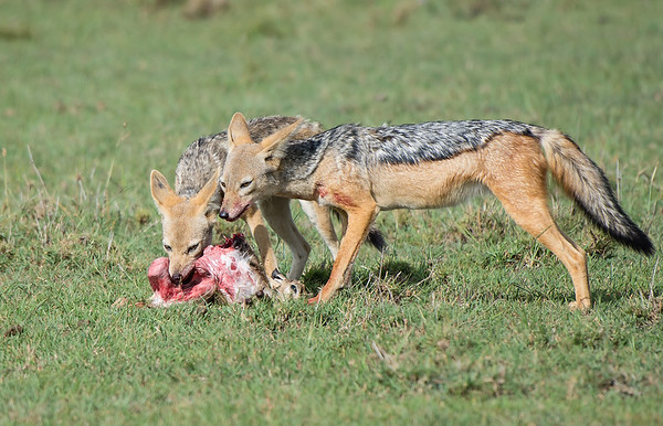 Jackals Feeding