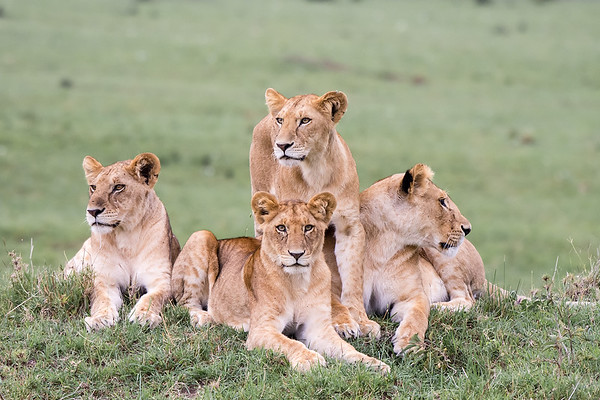Lioness and Juvenile Cubs