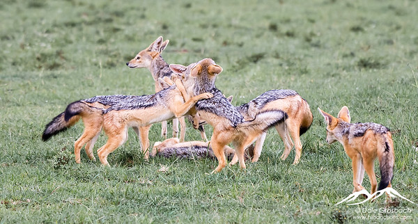 Jackal Pups at play