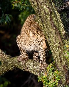 Figlet - Juvenile Leopard