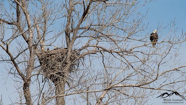 Housekeeping Eagles - West Nest