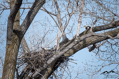 Housekeeping Eagles - North Nest
