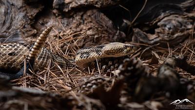 Canebreak Rattlesnake