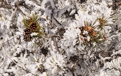 Pine Cones and Hoarfrost