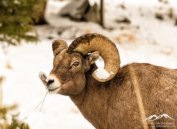 Snowy Horns