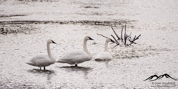 Trumpeter Swans - Madison River