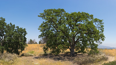 California Oak Tree on Hill