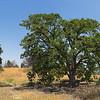 California Oak Tree on Hill