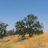 Cluster of Oak Trees