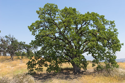 Massive Green Oak Tree