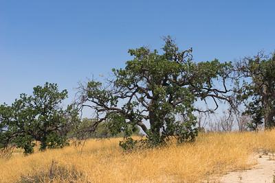 Gnarled Green Oak Tree
